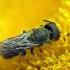 Bitė ? | Fotografijos autorius : Vidas Brazauskas | © Macrogamta.lt | Šis tinklapis priklauso bendruomenei kuri domisi makro fotografija ir fotografuoja gyvąjį makro pasaulį.