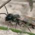 Smėliabitė - Andrena vaga ♂   Fotografijos autorius : Gintautas Steiblys   © Macrogamta.lt   Šis tinklapis priklauso bendruomenei kuri domisi makro fotografija ir fotografuoja gyvąjį makro pasaulį.