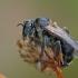 Gauruotakojė bitė - Dasypoda altercator ♀   Fotografijos autorius : Gintautas Steiblys   © Macrogamta.lt   Šis tinklapis priklauso bendruomenei kuri domisi makro fotografija ir fotografuoja gyvąjį makro pasaulį.