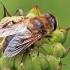 Srutinė žiedmusė - Eristalis tenax | Fotografijos autorius : Gintautas Steiblys | © Macrogamta.lt | Šis tinklapis priklauso bendruomenei kuri domisi makro fotografija ir fotografuoja gyvąjį makro pasaulį.