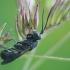 Brakonidas - Chelonus sp. | Fotografijos autorius : Gintautas Steiblys | © Macrogamta.lt | Šis tinklapis priklauso bendruomenei kuri domisi makro fotografija ir fotografuoja gyvąjį makro pasaulį.
