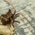 Arkliarūkštinė blakė - Coreus marginatus | Fotografijos autorius : Aurimas Aukštuolis | © Macrogamta.lt | Šis tinklapis priklauso bendruomenei kuri domisi makro fotografija ir fotografuoja gyvąjį makro pasaulį.