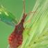 Kampuotblakė - Haploprocta sulcicornis | Fotografijos autorius : Gintautas Steiblys | © Macrogamta.lt | Šis tinklapis priklauso bendruomenei kuri domisi makro fotografija ir fotografuoja gyvąjį makro pasaulį.