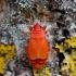 Blakė kareivėlis - Pyrrhocoris apterus | Fotografijos autorius : Zita Gasiūnaitė | © Macrogamta.lt | Šis tinklapis priklauso bendruomenei kuri domisi makro fotografija ir fotografuoja gyvąjį makro pasaulį.
