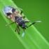 Dirvablakė - Scolopostethus sp. | Fotografijos autorius : Vidas Brazauskas | © Macrogamta.lt | Šis tinklapis priklauso bendruomenei kuri domisi makro fotografija ir fotografuoja gyvąjį makro pasaulį.