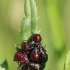 Blakių nimfos | Fotografijos autorius : Agnė Našlėnienė | © Macrogamta.lt | Šis tinklapis priklauso bendruomenei kuri domisi makro fotografija ir fotografuoja gyvąjį makro pasaulį.