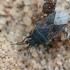 Miškinė dirvablakė - Drymus sylvaticus | Fotografijos autorius : Gintautas Steiblys | © Macrogamta.lt | Šis tinklapis priklauso bendruomenei kuri domisi makro fotografija ir fotografuoja gyvąjį makro pasaulį.