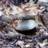 Blindinis elniavabalis - Platycerus caprea   Fotografijos autorius : Vitalii Alekseev   © Macrogamta.lt   Šis tinklapis priklauso bendruomenei kuri domisi makro fotografija ir fotografuoja gyvąjį makro pasaulį.