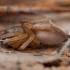 Blizgantysis maišavoris - Clubiona caerulescens ♀ | Fotografijos autorius : Žilvinas Pūtys | © Macrogamta.lt | Šis tinklapis priklauso bendruomenei kuri domisi makro fotografija ir fotografuoja gyvąjį makro pasaulį.