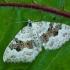 Blyškioji cidarija - Xanthorhoe montanata | Fotografijos autorius : Žilvinas Pūtys | © Macrogamta.lt | Šis tinklapis priklauso bendruomenei kuri domisi makro fotografija ir fotografuoja gyvąjį makro pasaulį.