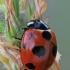 Boružė - Coccinella magnifica | Fotografijos autorius : Gintautas Steiblys | © Macrogamta.lt | Šis tinklapis priklauso bendruomenei kuri domisi makro fotografija ir fotografuoja gyvąjį makro pasaulį.