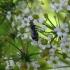 Baltnugaris ankštinukas - Bruchidius marginalis (Fabricius, 1777) | Fotografijos autorius : Vitalii Alekseev | © Macrogamta.lt | Šis tinklapis priklauso bendruomenei kuri domisi makro fotografija ir fotografuoja gyvąjį makro pasaulį.