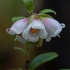 Bruknė - Vaccinium vitis-idaea | Fotografijos autorius : Žilvinas Pūtys | © Macrogamta.lt | Šis tinklapis priklauso bendruomenei kuri domisi makro fotografija ir fotografuoja gyvąjį makro pasaulį.