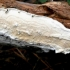 Raukšlėtasis odžievis - Byssomerulius corium (?) | Fotografijos autorius : Aleksandras Stabrauskas | © Macrogamta.lt | Šis tinklapis priklauso bendruomenei kuri domisi makro fotografija ir fotografuoja gyvąjį makro pasaulį.
