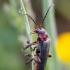 Raudonkojis minkštavabalis - Cantharis rustica   Fotografijos autorius : Žilvinas Pūtys   © Macrogamta.lt   Šis tinklapis priklauso bendruomenei kuri domisi makro fotografija ir fotografuoja gyvąjį makro pasaulį.
