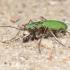 Žaliasis šoklys (Cicindela campestris) | Fotografijos autorius : Aleksandras Naryškin | © Macrogamta.lt | Šis tinklapis priklauso bendruomenei kuri domisi makro fotografija ir fotografuoja gyvąjį makro pasaulį.