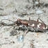 Baltalūpis šoklys (Cicindela hybrida) | Fotografijos autorius : Aleksandras Naryškin | © Macrogamta.lt | Šis tinklapis priklauso bendruomenei kuri domisi makro fotografija ir fotografuoja gyvąjį makro pasaulį.