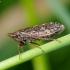 Cikadėlė - Aphrodes bicinctus | Fotografijos autorius : Romas Ferenca | © Macrogamta.lt | Šis tinklapis priklauso bendruomenei kuri domisi makro fotografija ir fotografuoja gyvąjį makro pasaulį.