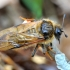 Cimbeksas - Trichiosoma lucorum? | Fotografijos autorius : Kazimieras Martinaitis | © Macrogamta.lt | Šis tinklapis priklauso bendruomenei kuri domisi makro fotografija ir fotografuoja gyvąjį makro pasaulį.