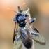 Beržinis cimbeksas - Cimbex femoratus.   Fotografijos autorius : Arūnas Eismantas   © Macrogamta.lt   Šis tinklapis priklauso bendruomenei kuri domisi makro fotografija ir fotografuoja gyvąjį makro pasaulį.