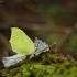 Citrinukas - Gonepteryx rhamni   Fotografijos autorius : Vidas Brazauskas   © Macrogamta.lt   Šis tinklapis priklauso bendruomenei kuri domisi makro fotografija ir fotografuoja gyvąjį makro pasaulį.