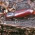 Vienspalvis juodvabalis - Hypophloeus [=Corticeus] unicolor   Fotografijos autorius : Gintautas Steiblys   © Macrogamta.lt   Šis tinklapis priklauso bendruomenei kuri domisi makro fotografija ir fotografuoja gyvąjį makro pasaulį.