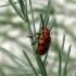 Dvylikadėmis smidrinukas - Crioceris duodecimpunctata | Fotografijos autorius : Vitalii Alekseev | © Macrogamta.lt | Šis tinklapis priklauso bendruomenei kuri domisi makro fotografija ir fotografuoja gyvąjį makro pasaulį.