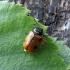 Beržinis paslėptagalvis - Cryptocephalus distiguendus | Fotografijos autorius : Vitalii Alekseev | © Macrogamta.lt | Šis tinklapis priklauso bendruomenei kuri domisi makro fotografija ir fotografuoja gyvąjį makro pasaulį.