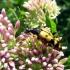 Dėmėtasis grakštenis - Rutpela maculata | Fotografijos autorius : Vitalii Alekseev | © Macrogamta.lt | Šis tinklapis priklauso bendruomenei kuri domisi makro fotografija ir fotografuoja gyvąjį makro pasaulį.