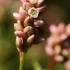 Dėmėtasis rūgtis - Persicaria maculosa (=Polygonum persicaria)  | Fotografijos autorius : Ramunė Vakarė | © Macrogamta.lt | Šis tinklapis priklauso bendruomenei kuri domisi makro fotografija ir fotografuoja gyvąjį makro pasaulį.