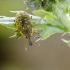Daginis straubliukas | Larinus sturnus | Fotografijos autorius : Darius Baužys | © Macrogamta.lt | Šis tinklapis priklauso bendruomenei kuri domisi makro fotografija ir fotografuoja gyvąjį makro pasaulį.