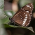 Danaja - Euploea core corinna   Fotografijos autorius : Žilvinas Pūtys   © Macrogamta.lt   Šis tinklapis priklauso bendruomenei kuri domisi makro fotografija ir fotografuoja gyvąjį makro pasaulį.