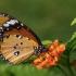Paprastasis monarchas - Danaus chrysippus | Fotografijos autorius : Vaida Paznekaitė | © Macrogamta.lt | Šis tinklapis priklauso bendruomenei kuri domisi makro fotografija ir fotografuoja gyvąjį makro pasaulį.