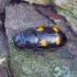 Daržinis žvilgvabalis - Glischrochilus hortensis | Fotografijos autorius : Romas Ferenca | © Macrogamta.lt | Šis tinklapis priklauso bendruomenei kuri domisi makro fotografija ir fotografuoja gyvąjį makro pasaulį.