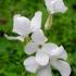 Daugiametė blizgė - Lunaria rediviva | Fotografijos autorius : Aleksandras Stabrauskas | © Macrogamta.lt | Šis tinklapis priklauso bendruomenei kuri domisi makro fotografija ir fotografuoja gyvąjį makro pasaulį.