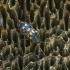 Daugiataškis grybvabalis - Mycetophagus multipunctatus | Fotografijos autorius : Kazimieras Martinaitis | © Macrogamta.lt | Šis tinklapis priklauso bendruomenei kuri domisi makro fotografija ir fotografuoja gyvąjį makro pasaulį.