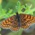 Didžioji šaškytė - Melitaea phoebe | Fotografijos autorius : Gintautas Steiblys | © Macrogamta.lt | Šis tinklapis priklauso bendruomenei kuri domisi makro fotografija ir fotografuoja gyvąjį makro pasaulį.