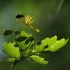 Didžioji ugniažolė - Chelidonium majus   Fotografijos autorius : Vidas Brazauskas   © Macrogamta.lt   Šis tinklapis priklauso bendruomenei kuri domisi makro fotografija ir fotografuoja gyvąjį makro pasaulį.