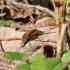 Didžioji zvimbeklė - Bombylius major | Fotografijos autorius : Vytautas Tamutis | © Macrogamta.lt | Šis tinklapis priklauso bendruomenei kuri domisi makro fotografija ir fotografuoja gyvąjį makro pasaulį.