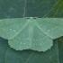 Didysis žaliasprindis - Geometra papilionaria | Fotografijos autorius : Žilvinas Pūtys | © Macrogamta.lt | Šis tinklapis priklauso bendruomenei kuri domisi makro fotografija ir fotografuoja gyvąjį makro pasaulį.