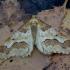 Didysis žiemsprindis - Erannis defoliaria | Fotografijos autorius : Romas Ferenca | © Macrogamta.lt | Šis tinklapis priklauso bendruomenei kuri domisi makro fotografija ir fotografuoja gyvąjį makro pasaulį.