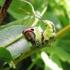 Didysis dviuodegis - Cerura vinula | Fotografijos autorius : Agnė Kulpytė | © Macrogamta.lt | Šis tinklapis priklauso bendruomenei kuri domisi makro fotografija ir fotografuoja gyvąjį makro pasaulį.