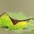 Didysis dviuodegis - Cerura vinula | Fotografijos autorius : Gediminas Gražulevičius | © Macrogamta.lt | Šis tinklapis priklauso bendruomenei kuri domisi makro fotografija ir fotografuoja gyvąjį makro pasaulį.