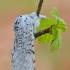 Didysis dviuodegis - Cerura vinula | Fotografijos autorius : Arūnas Eismantas | © Macrogamta.lt | Šis tinklapis priklauso bendruomenei kuri domisi makro fotografija ir fotografuoja gyvąjį makro pasaulį.