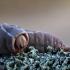 Didysis dviuodegis - Cerura vinula | Fotografijos autorius : Zita Gasiūnaitė | © Macrogamta.lt | Šis tinklapis priklauso bendruomenei kuri domisi makro fotografija ir fotografuoja gyvąjį makro pasaulį.