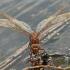 Didysis laumžirgis - Aeshna grandis | Fotografijos autorius : Gintautas Steiblys | © Macrogamta.lt | Šis tinklapis priklauso bendruomenei kuri domisi makro fotografija ir fotografuoja gyvąjį makro pasaulį.