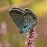 Didysis melsvys - Polyommatus amandus | Fotografijos autorius : Gintautas Steiblys | © Macrogamta.lt | Šis tinklapis priklauso bendruomenei kuri domisi makro fotografija ir fotografuoja gyvąjį makro pasaulį.