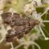 Dilgėlinė lapsukinė kandis - Anthophila fabriciana | Fotografijos autorius : Žilvinas Pūtys | © Macrogamta.lt | Šis tinklapis priklauso bendruomenei kuri domisi makro fotografija ir fotografuoja gyvąjį makro pasaulį.