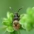 Dirvablakė - Scolopostethus sp., nimfa | Fotografijos autorius : Vidas Brazauskas | © Macrogamta.lt | Šis tinklapis priklauso bendruomenei kuri domisi makro fotografija ir fotografuoja gyvąjį makro pasaulį.