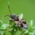 Dėmėtoji dirvablakė - Scolopostethus affinis | Fotografijos autorius : Vidas Brazauskas | © Macrogamta.lt | Šis tinklapis priklauso bendruomenei kuri domisi makro fotografija ir fotografuoja gyvąjį makro pasaulį.